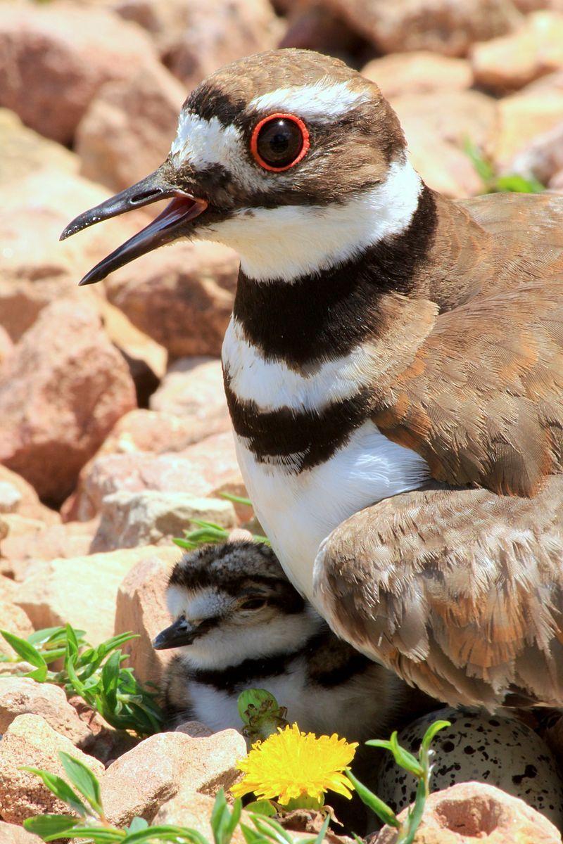 The Killdeer (Charadrius vociferus), a medium-sized plover