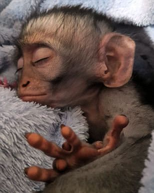 The Small Monkey Loves Having A Good Sleep Animals Beautiful Pet People Cute Monkey