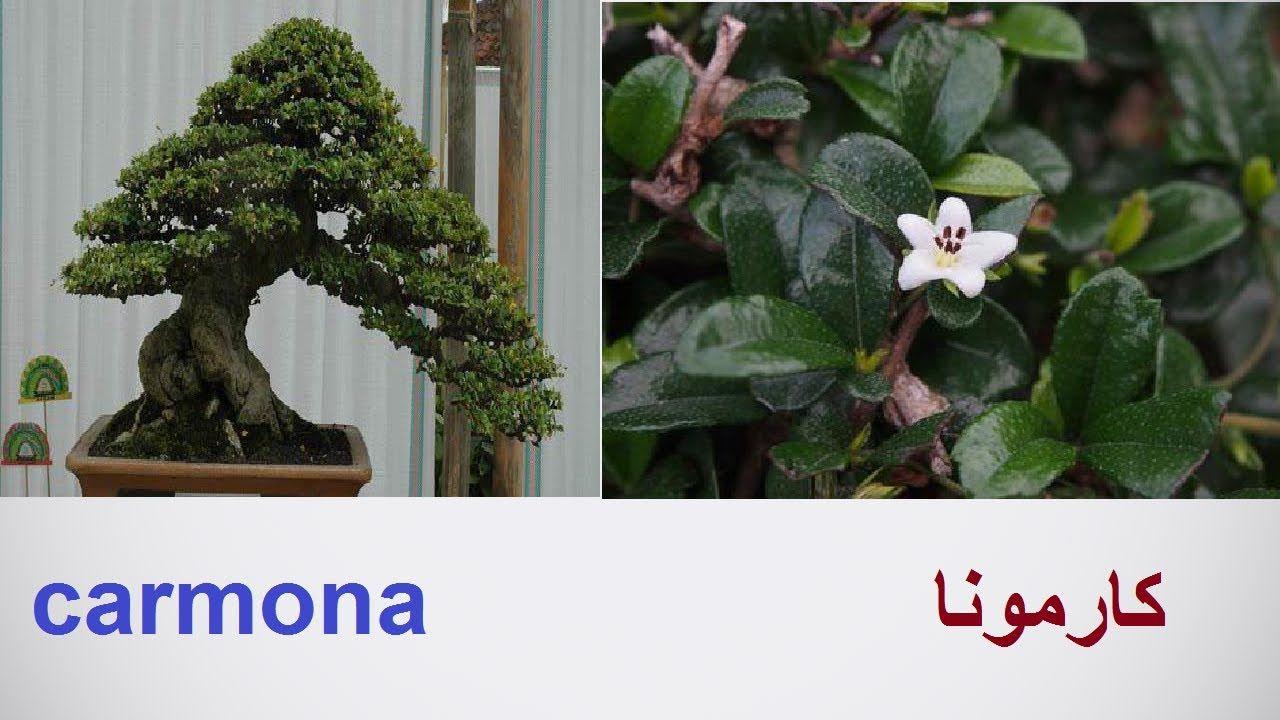كارمونا او شجيرة الشاى او بونساى كارمونا طرق التكاثر والرعاية Carmona حل Plants