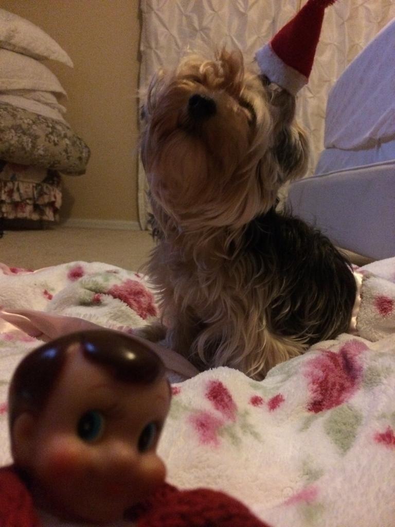 Yorkie dog and elf on the shelf Yorkie Yorkshire Terrier