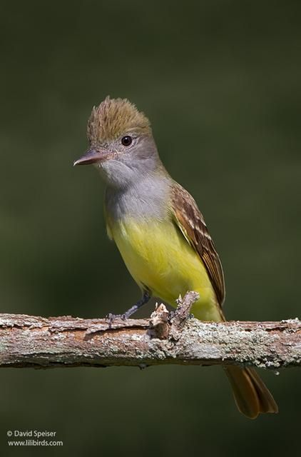 Great-crested Flycatcher - N. America | Midwest birds ...