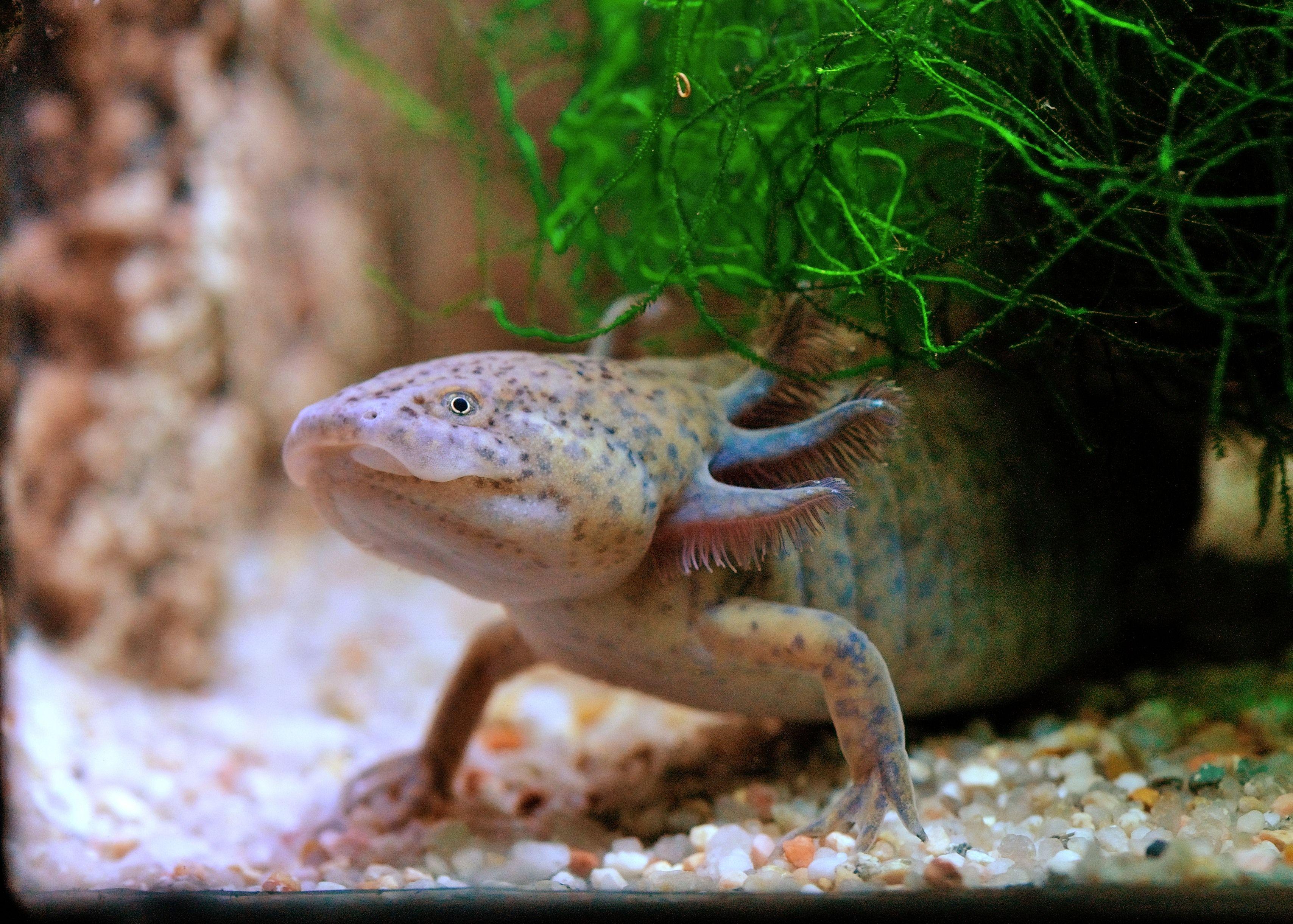 Axolotl du Jardin des Plantes © F-G Grandin