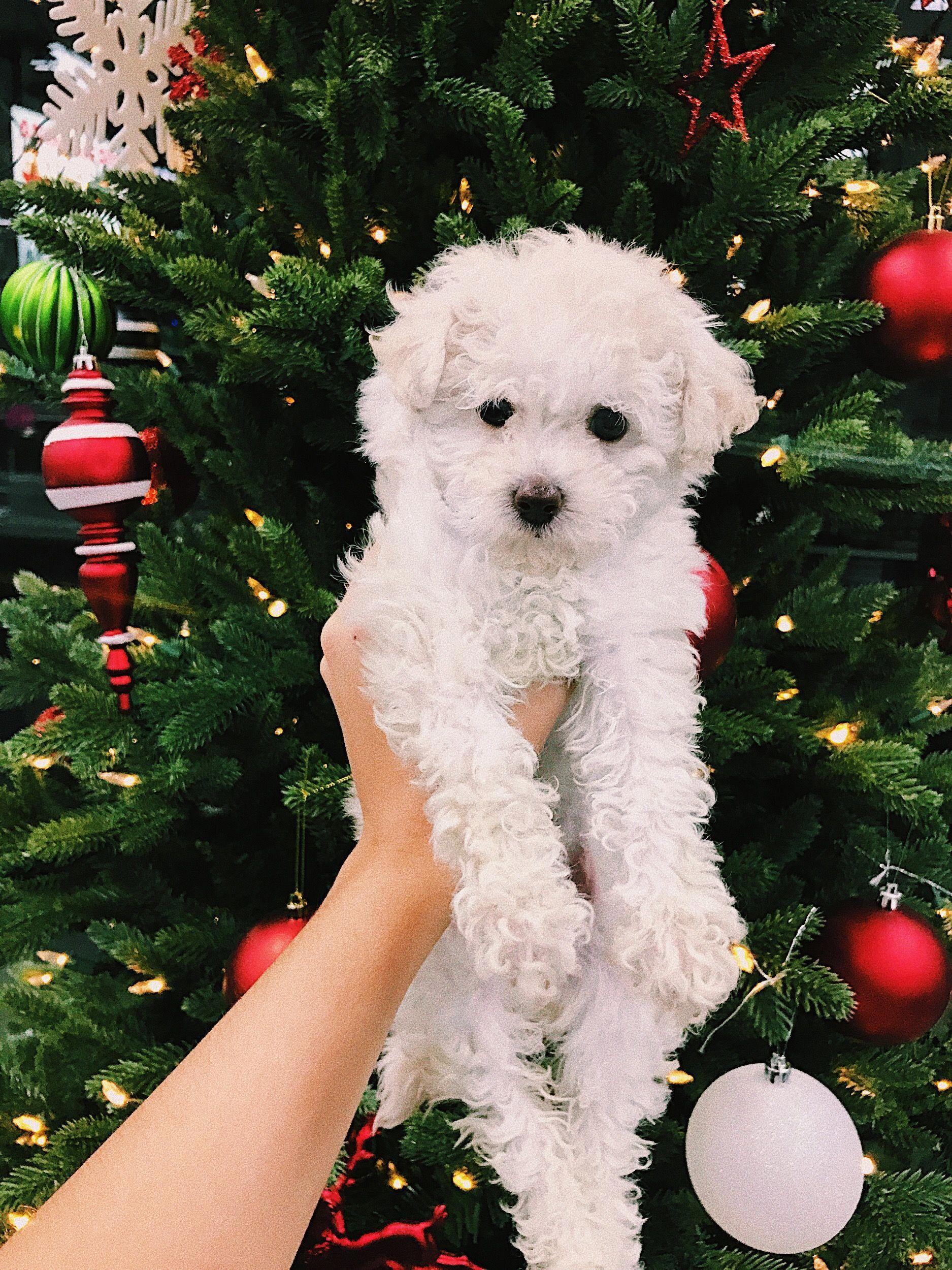 Little poodle teacupfrenchbulldog white toy poodle