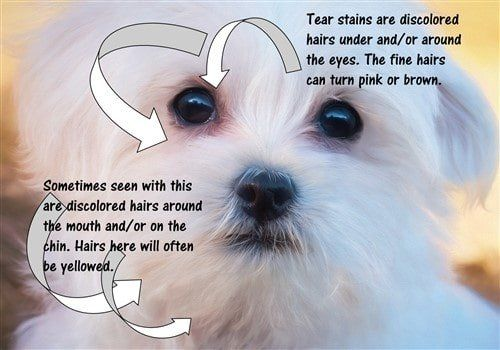 Maltese Red And Yellow Stains On White Coat Tear Stains Dog