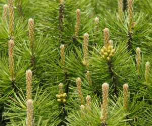 Dos and Don'ts: What to Remember When Planting Mugo Pine Trees