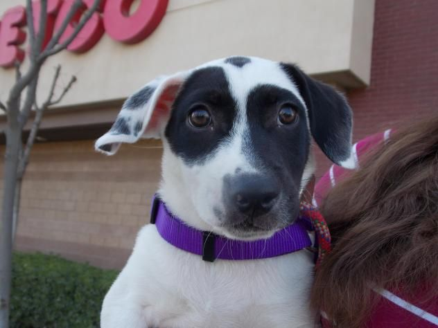 Adopt Jersee On Terrier Mix Dogs Animals Pet Adoption