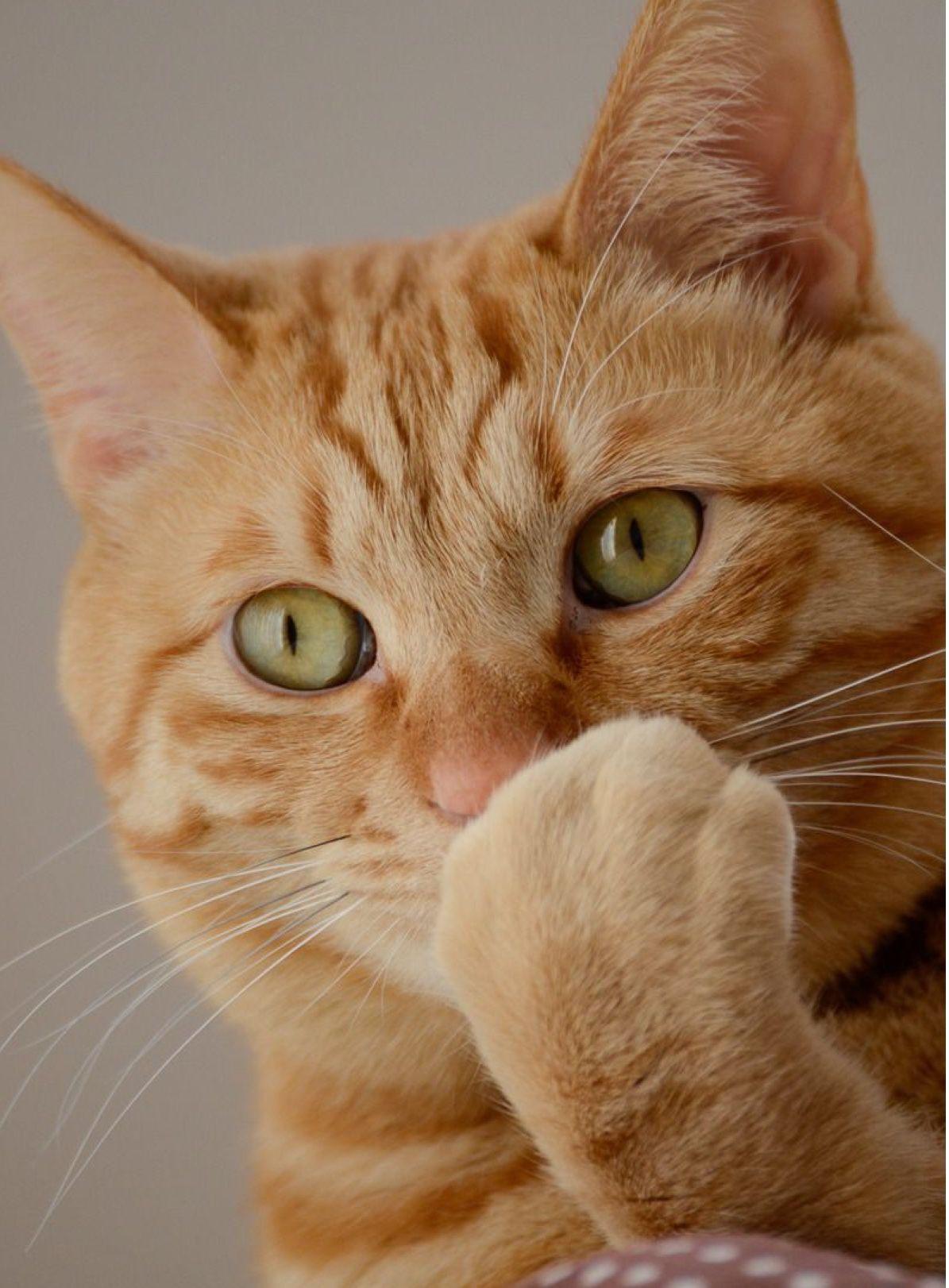 Pin by Anchana Ploypraw on Cats Orange tabby cats, Tabby