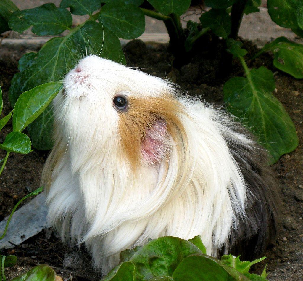 Pin On Guinea Pig Grunts