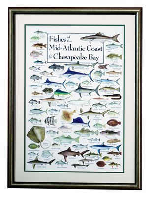 Fishes Of The Mid Atlantic Coast And Chesapeake Bay Framed Regional Fish Poster Outer Banks North Carolina North Carolina Coast Outer Banks North