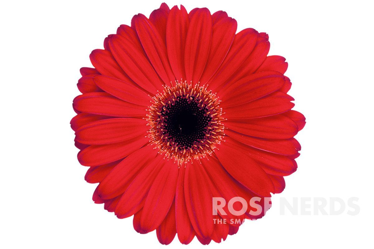 Wholesale holiday assorted gerbera daisies 50 stems products wholesale gerbera daisies are the perfect flowers for all sorts of occasions from weddings and special events to holidays and fundraising campaigns izmirmasajfo