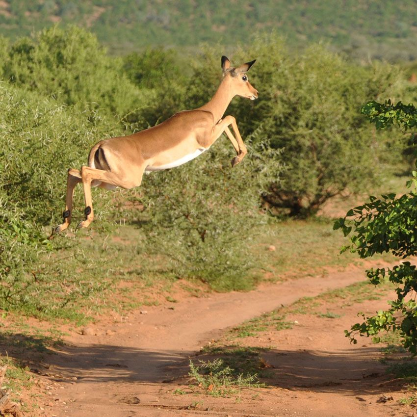 impala animal jumping - 850×850