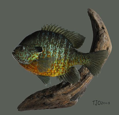 Bluepumpkin hybrid replica fish replicas pinterest for Replica fish mounts
