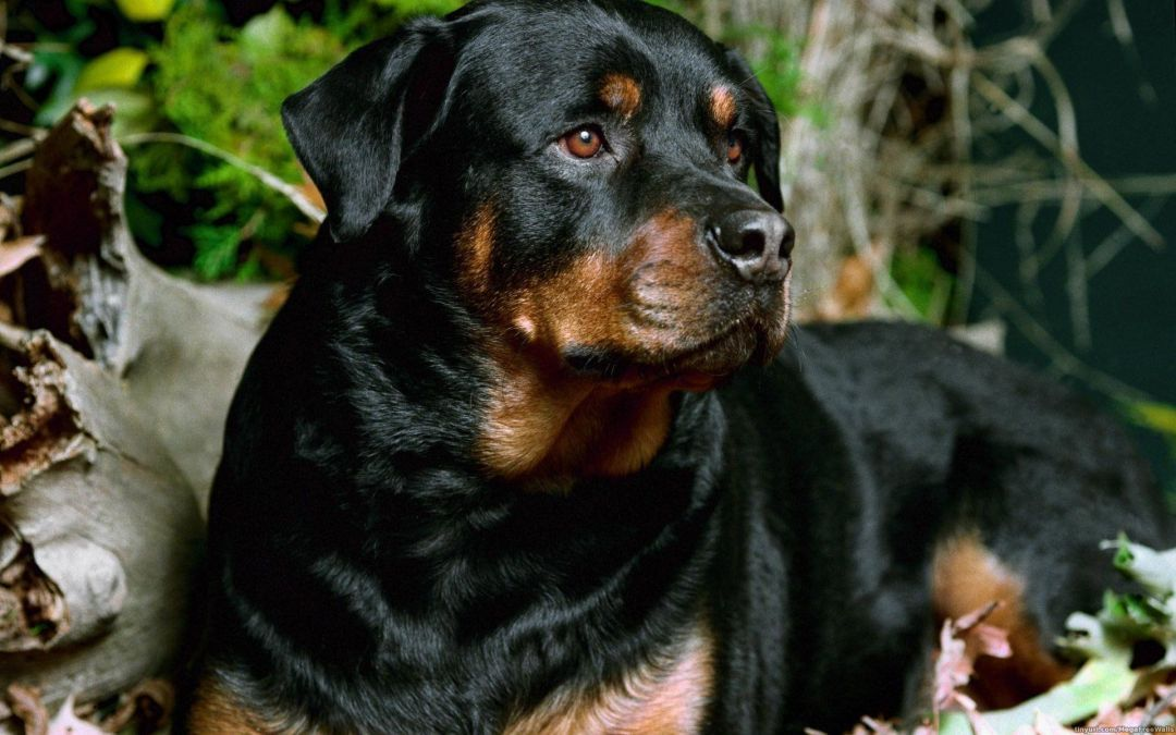 Rottweiler Android Iphone Desktop Hd Backgrounds Wallpapers