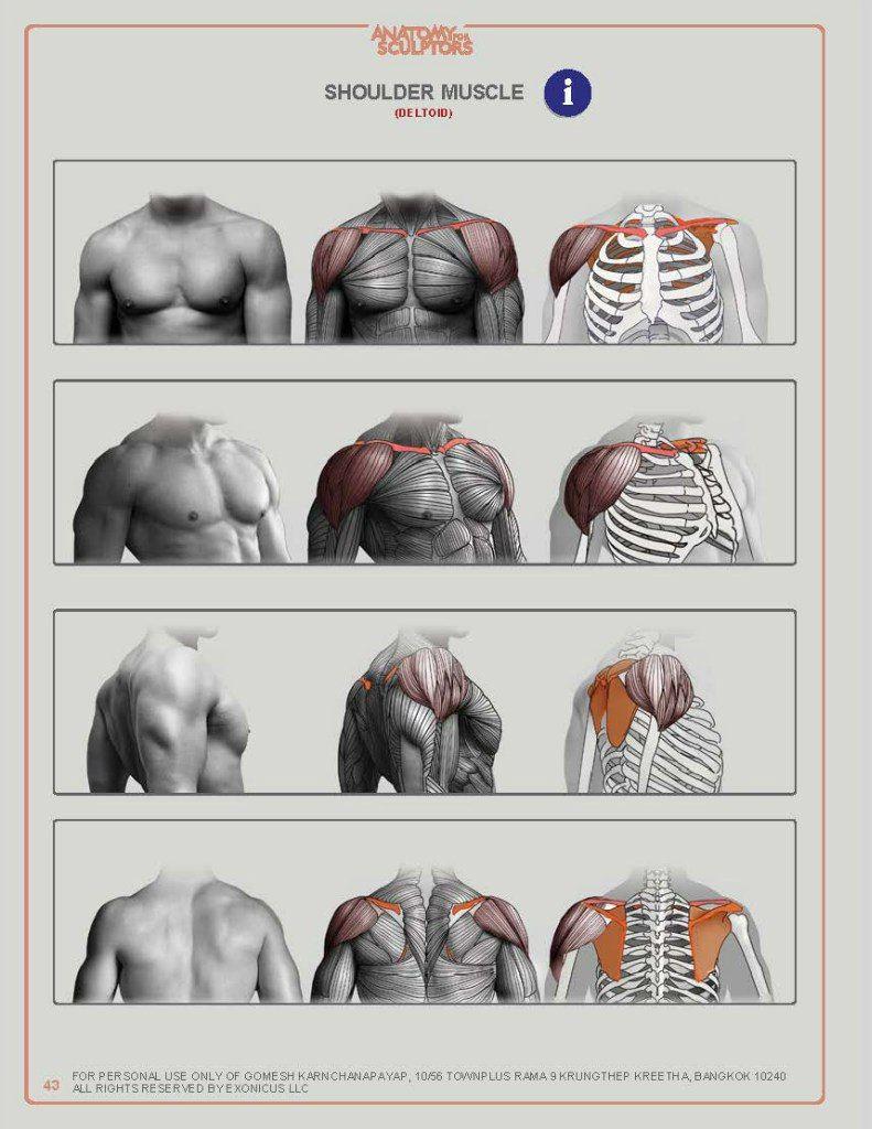 ANATOMY FOR SCULPTORS – 218 photos | VK | Anatomy in 2019 | Anatomy