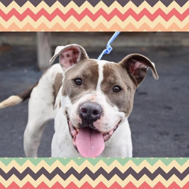 Adopt Roxanne On Pitbull Terrier Cute Dogs Dogs