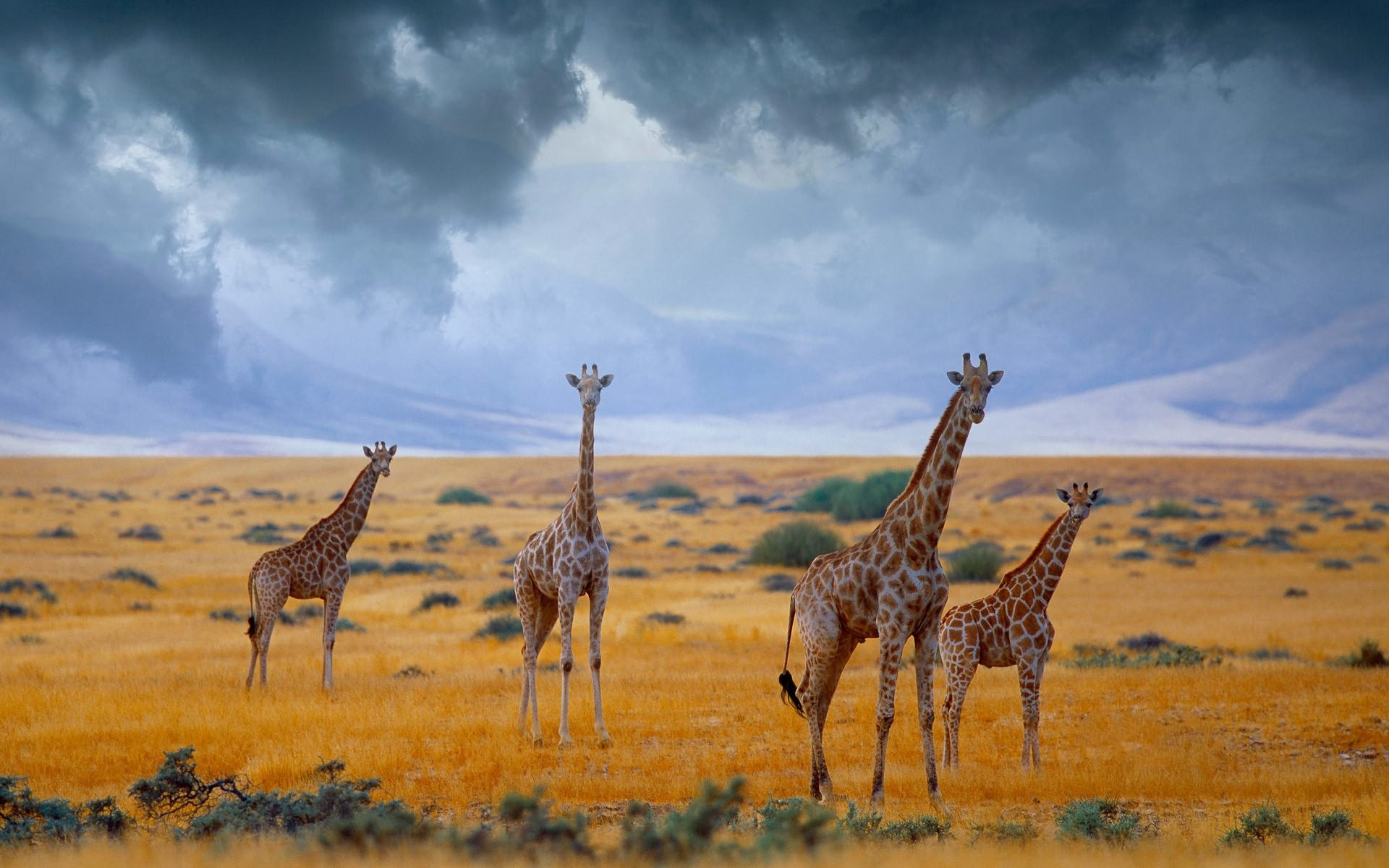 Giraffe HD Wallpapers And Backgrounds 1920x1080 Wallpaper 44