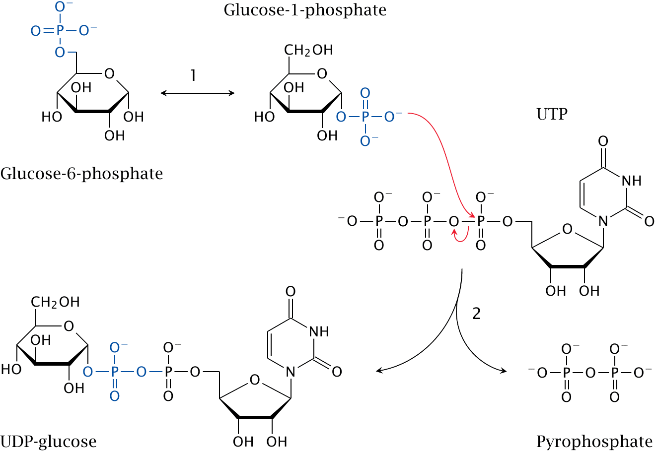 Glycogen Synthesis And Degradation