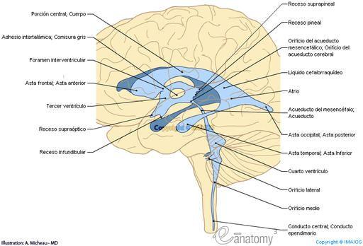 Ventrículo cerebral - Neuroanatomía : Cuarto ventrículo Tercer ...