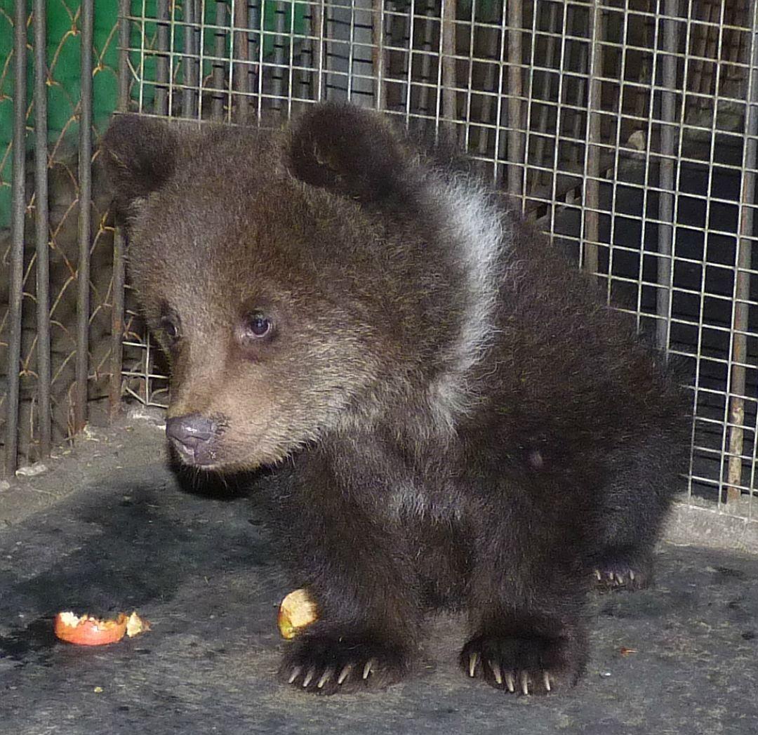 А так медведица преобразилась через несколько недель. Фото: Наталья БОЛОТОВА