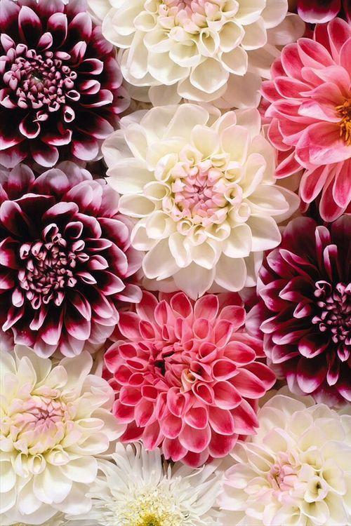 imagen de flowers pink and white natures flowers pinterest blumen dahlien und blumen bl ten. Black Bedroom Furniture Sets. Home Design Ideas