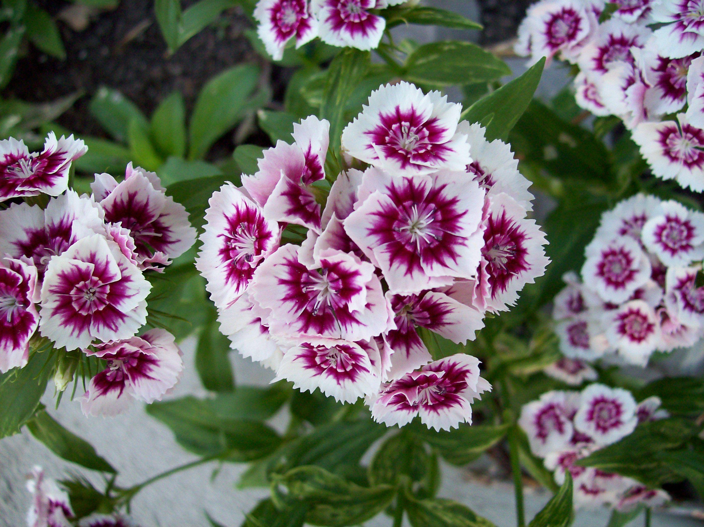 Google Image Result For Http Upload Wikimedia Org Wikipedia Commons 9 99 Spring Flowers Jpg Einjahrige Blumen Bartnelken Fruhlingsblumen