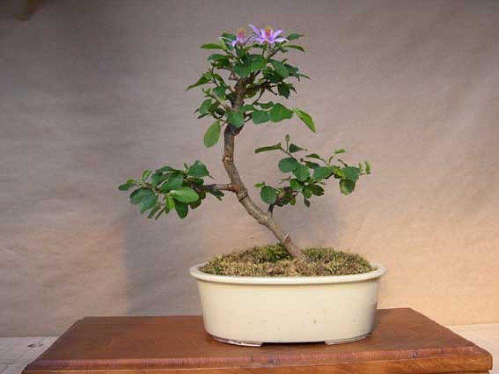Bonsai jade 5 cuidar de tus plantas es facilisimo bonsai pinterest bonsai - Plantas para bonsai ...