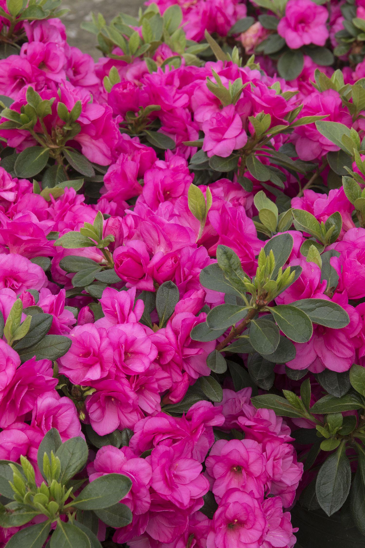 Happy Days Pink Azalea Monrovia Happy Days Pink Azalea Pink Azaleas Planting Hydrangeas Florida Flowers