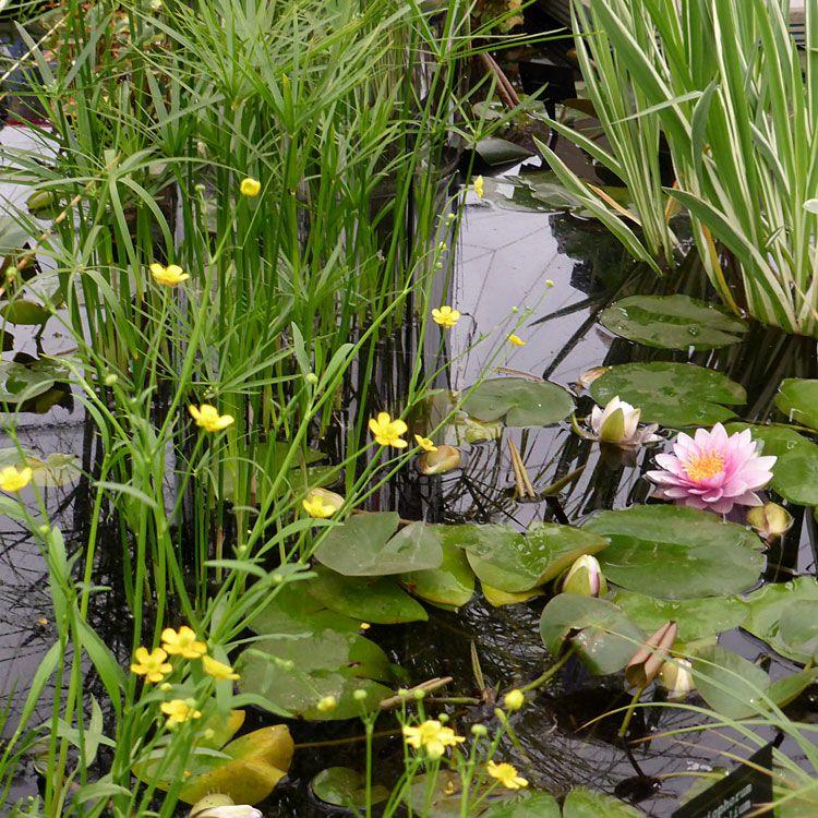 Pond Plants Online Waterside Nursery Plants Pond Plants Landscaping With Rocks