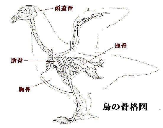 動物 ペット の骨格についての情報 アメリカンペットメモリアル 美術解剖学 動物 骨格