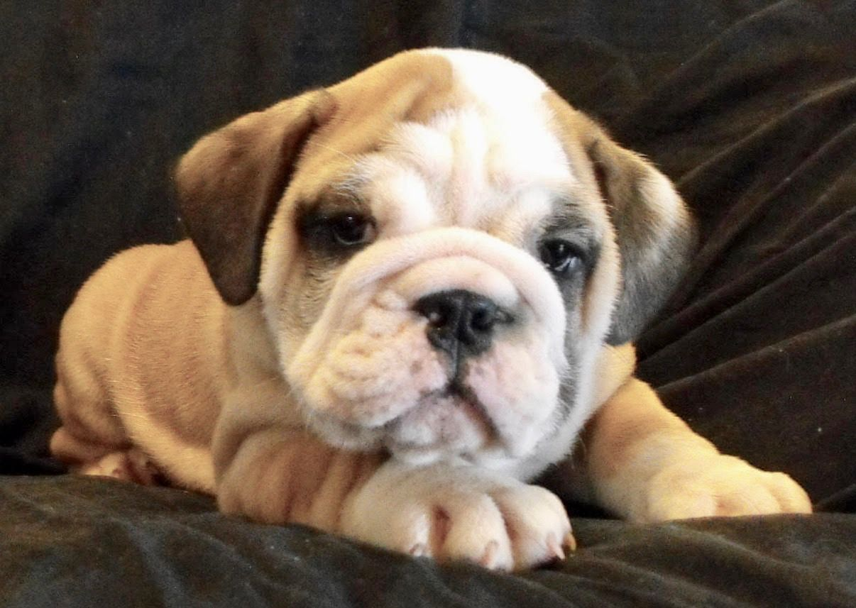 Asher Is A Fawn Male English Bulldog Puppy American Born And