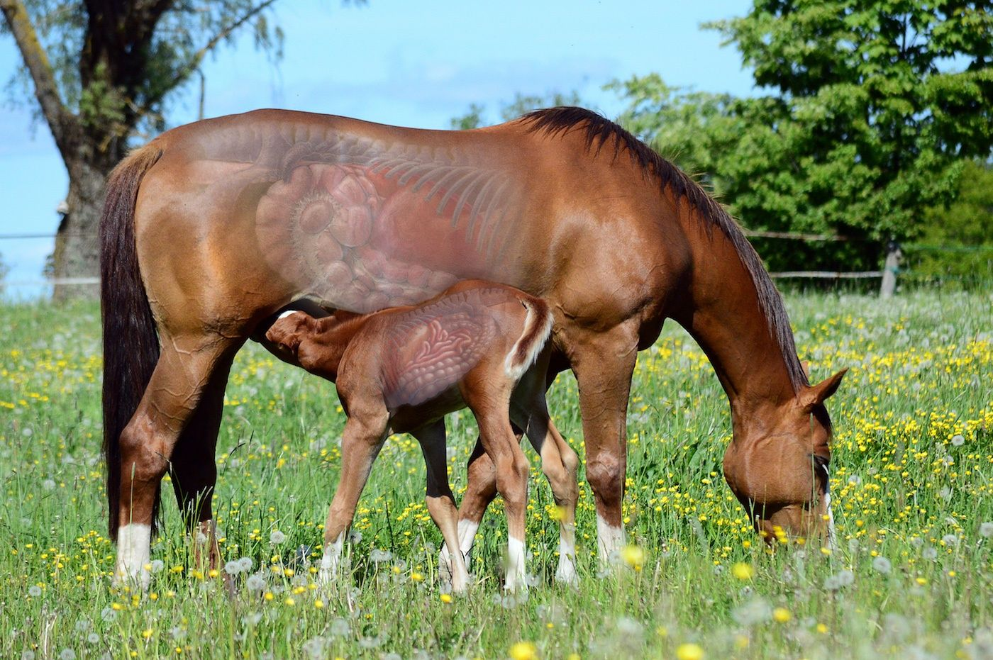 Mare Amp Foal Gi Tracts