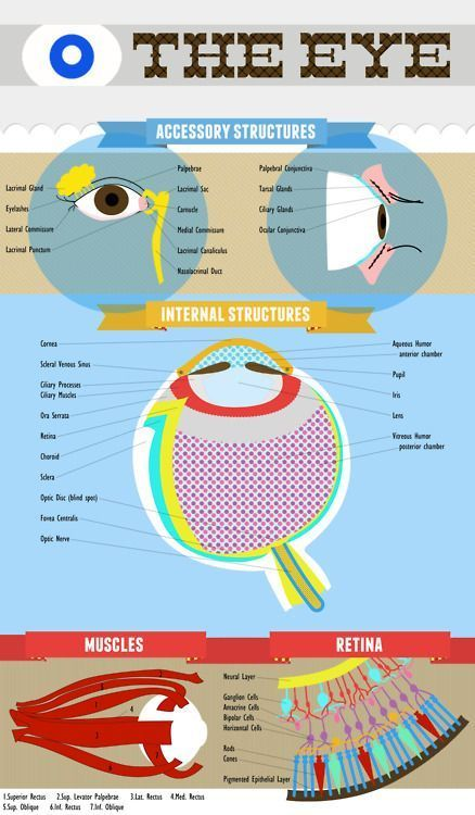 Made This Eye Anatomy Chart As A Study Method For My Anatomy And
