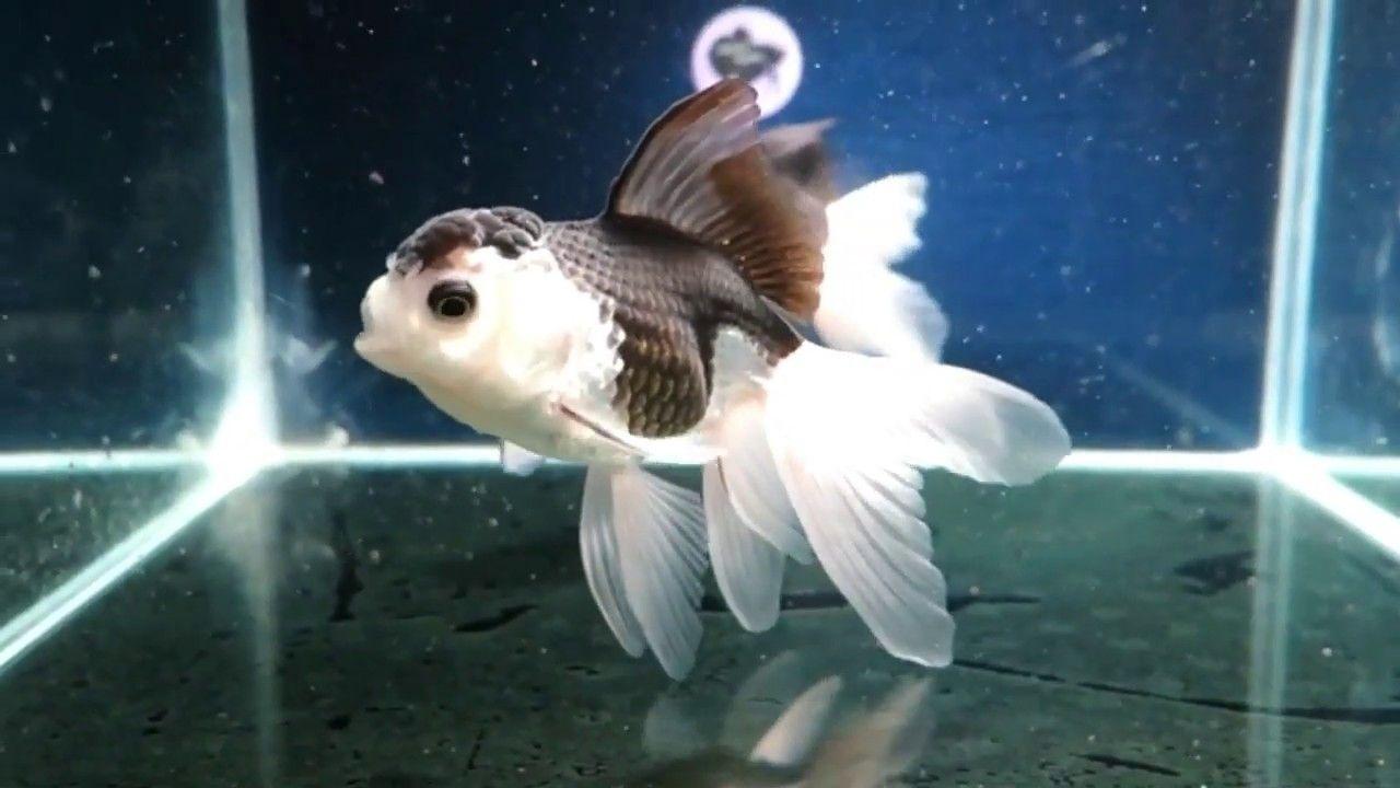 For Sale Thai Panda Oranda Goldfish Female Fb11 40 Fantasic Youtube Oranda Goldfish Goldfish Aquarium Goldfish For Sale