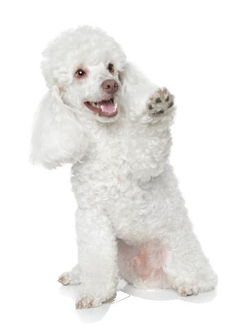 Pin Em Dogs Poodle