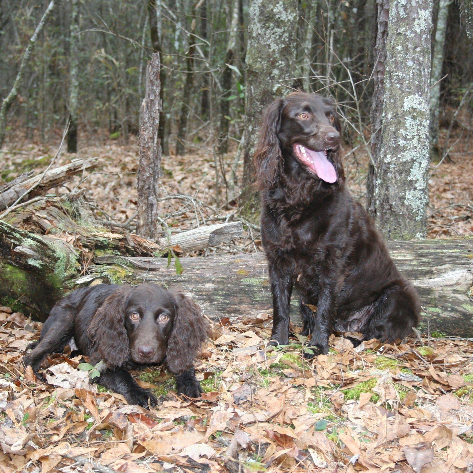 Sweet Boykin Spaniels Boykin spaniel, Medium sized dogs