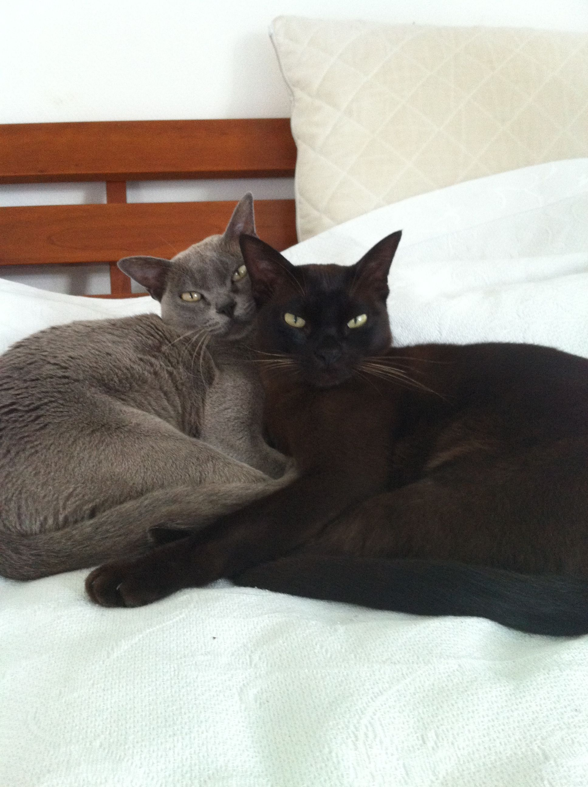 Burmese Cats Brother And Sister Very Attached Cats Burmilla Cat Cool Cats