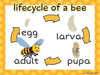 Bee life cycle poster+worksheet FREEBIE | SecondGradeSquad.com ...