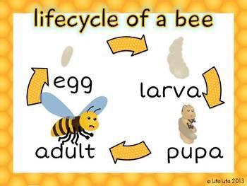 Bee Life Cycle Worksheets - Mamas Learning Corner