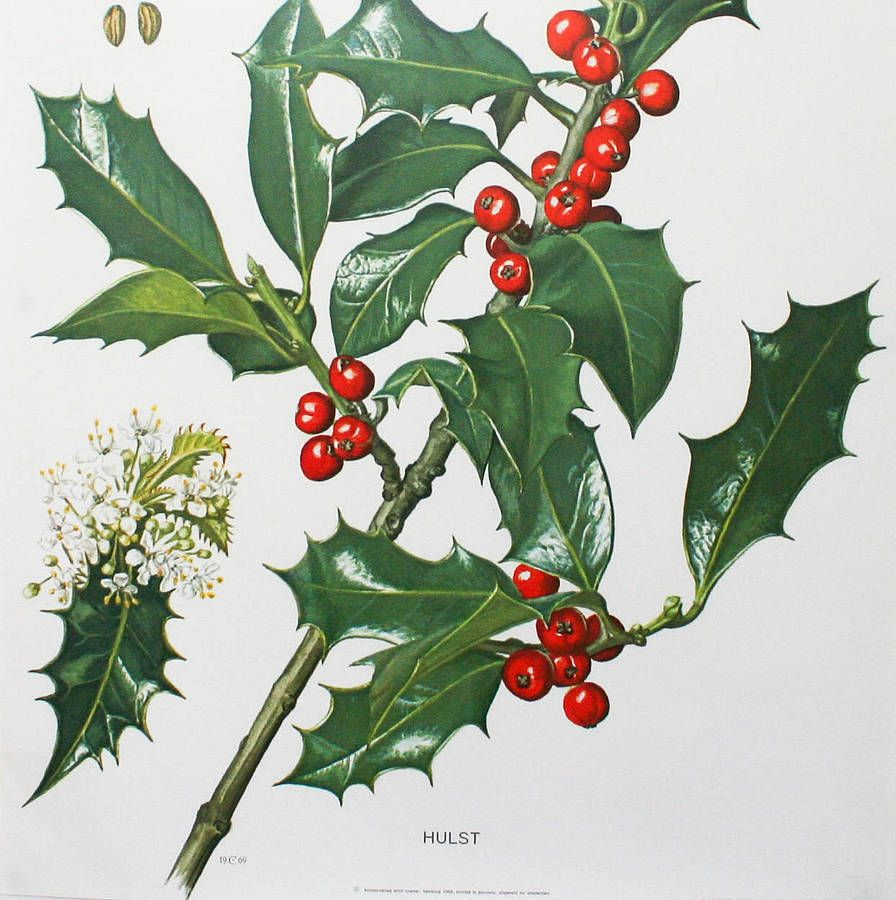 vintage botanical print holly vintage botanical prints