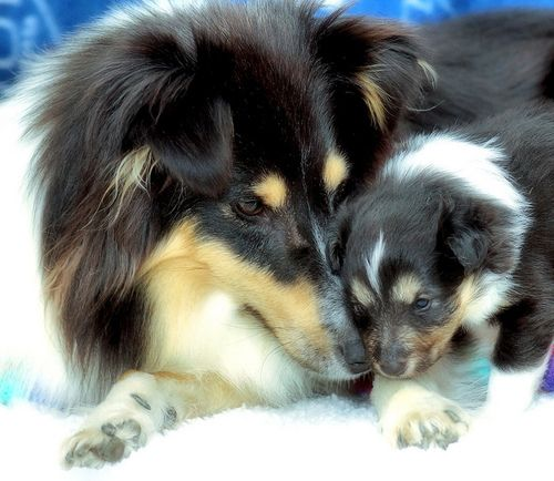 Transylvanialand | Forums. Blogs, Sites, Photos - Shelties