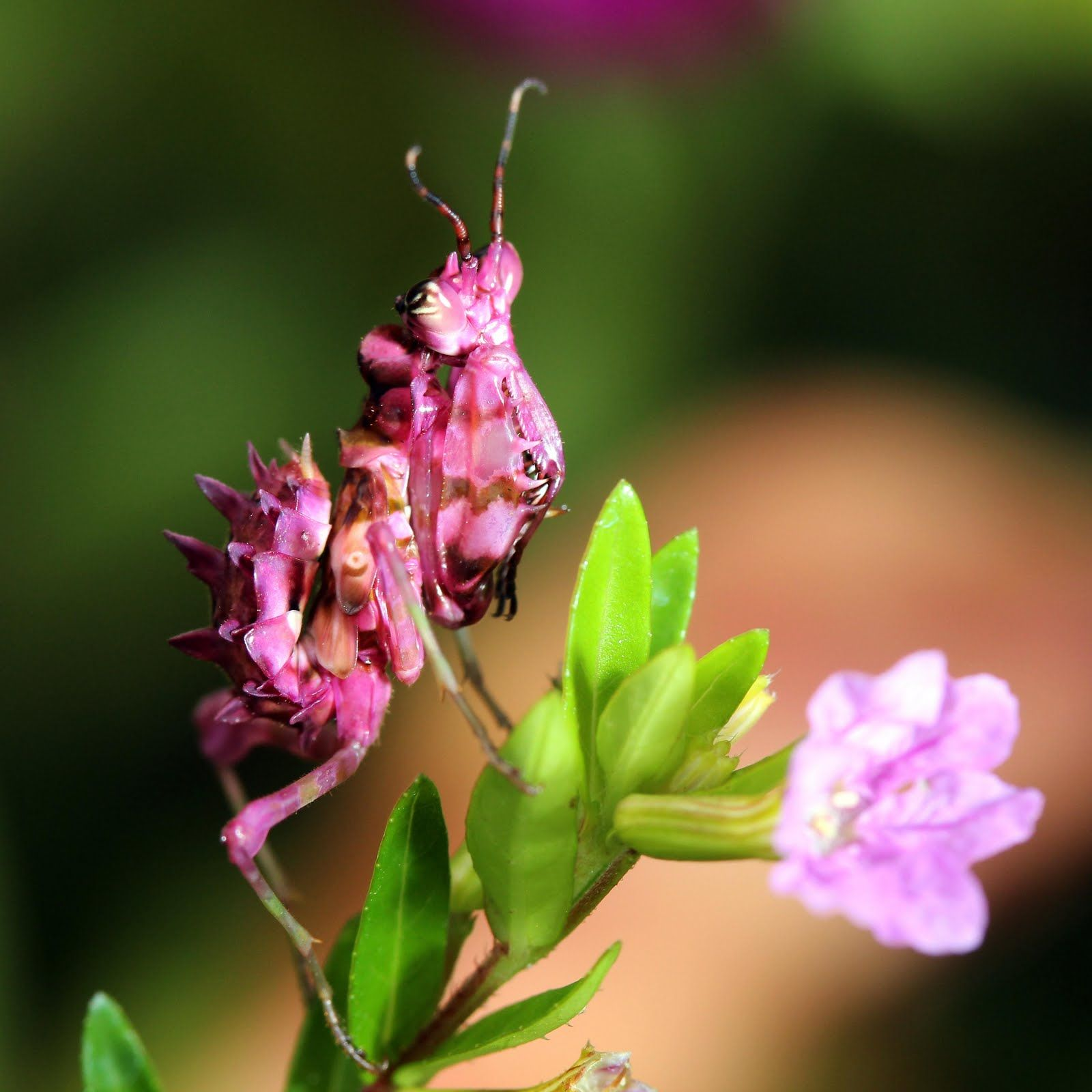 Gambian spotted eye flower mantis pink flower mantis spiny gambian spotted eye flower mantis pink flower mantis spiny flower mantis nymphs dhlflorist Image collections