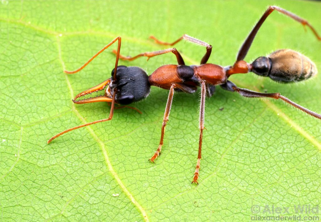 Myrmecia3 Xl Jpg 1024 710 Ants Insect Photography Insects