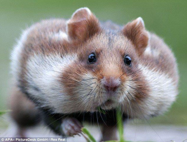 c38395b2d39b024b18f7f8c82280b92c - How To Get Food Out Of Hamster S Cheeks