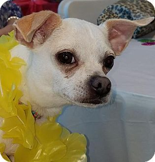 Pictures Of Ace A Chihuahua Mix For Adoption In Sarasota Fl Who