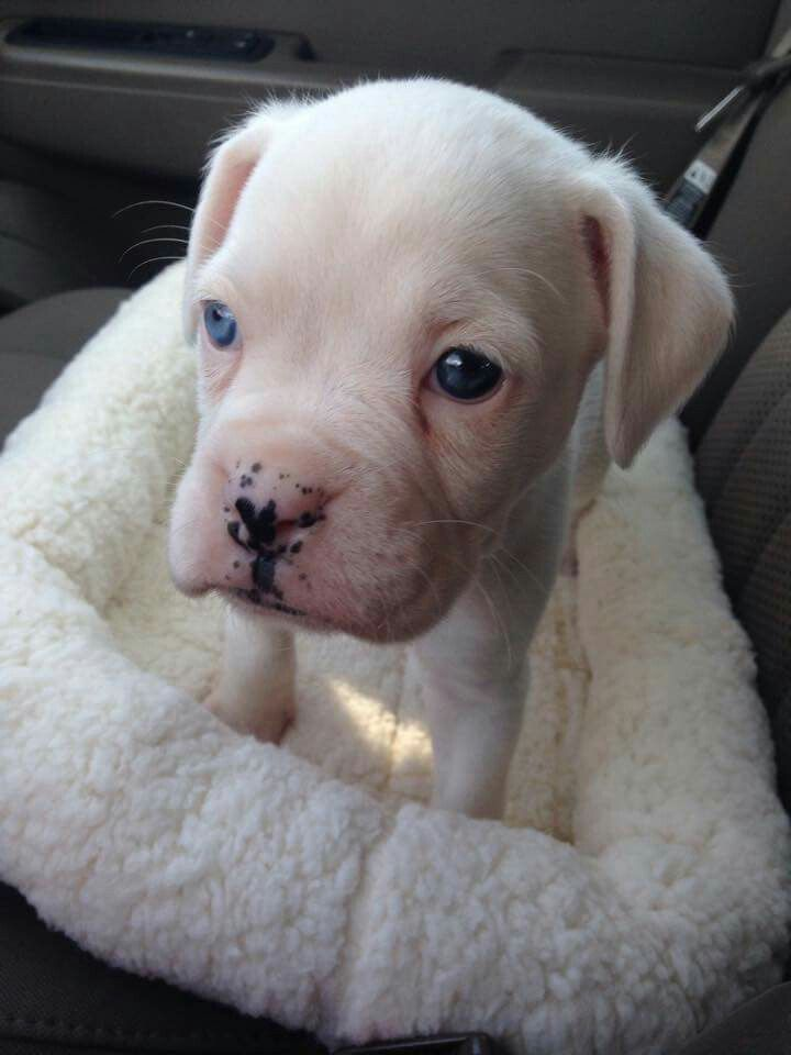 White Boxer puppy with blue eyes | Boxer dogs, Boxer ...