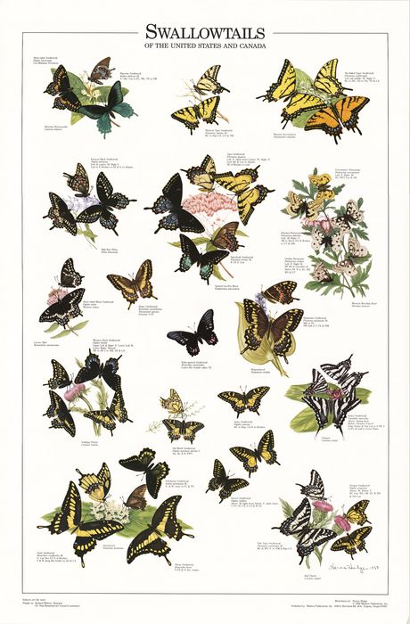 Swallowtails of the U.S. and Canada | -K- Nature Identification | Butterfly identification ... - photo#43