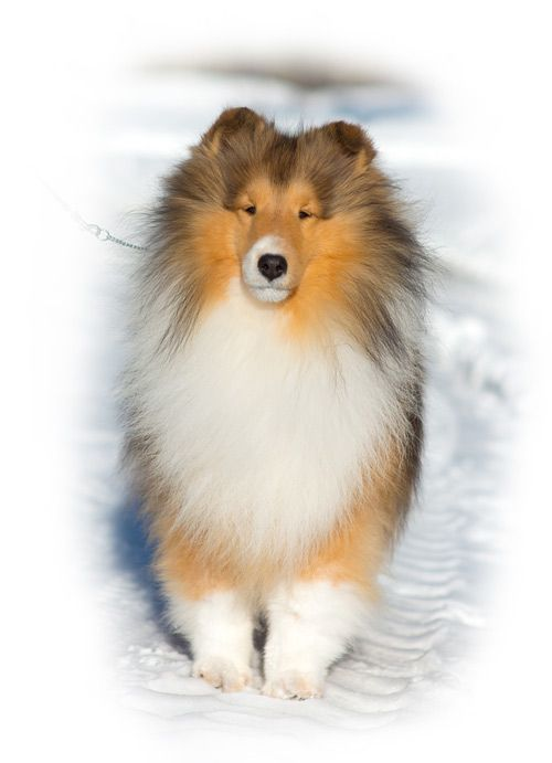 Am Ch Laureate Macadamia Laureate Shelties Dogs Puppies