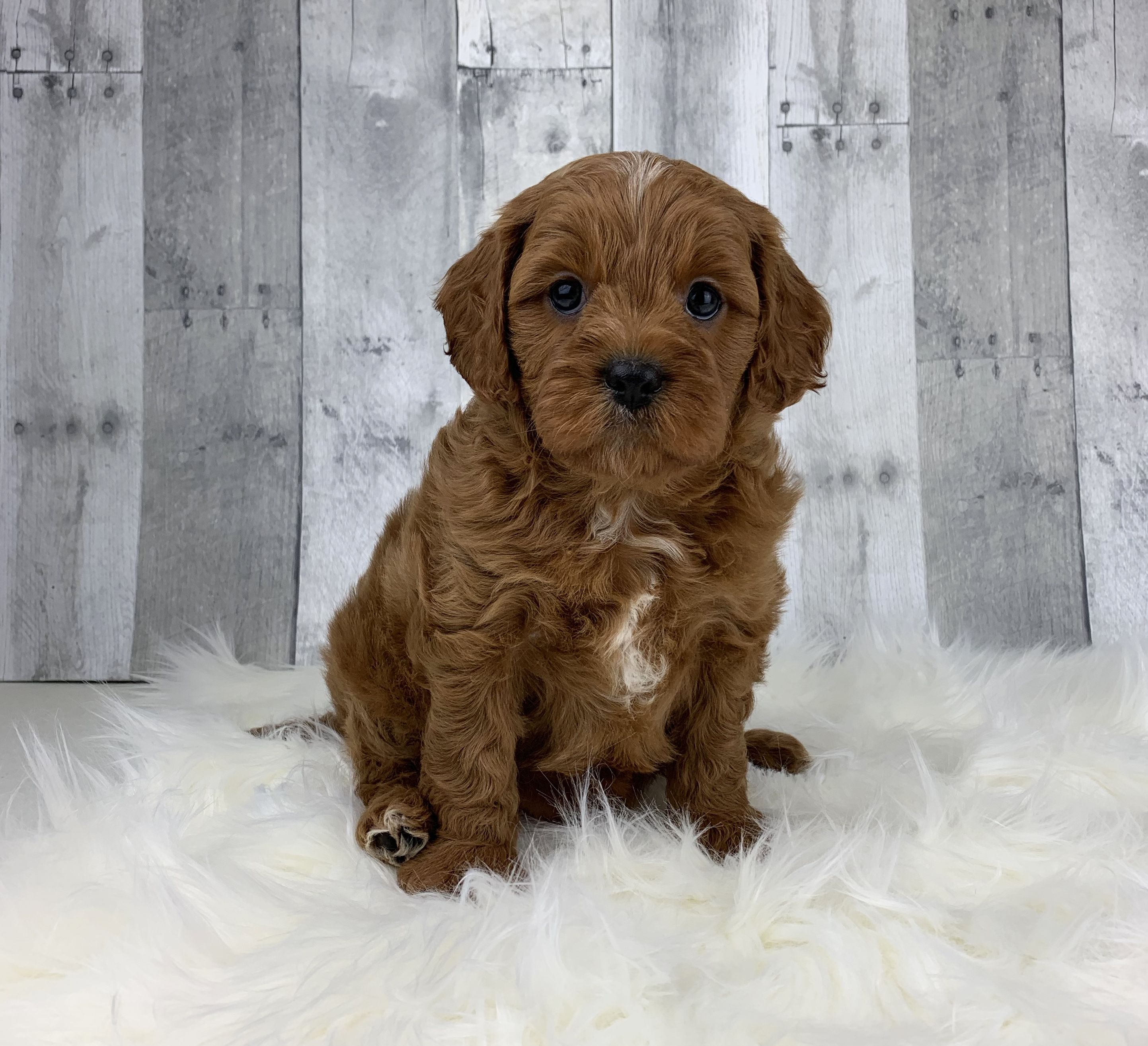 Puppies for Sale Cavapoo puppies, Lancaster puppies, Dog
