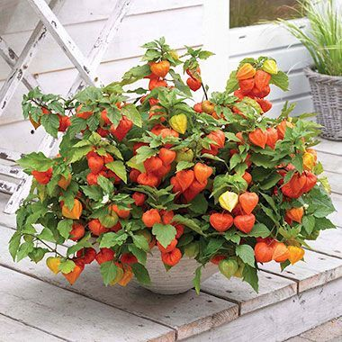 Chinese Lantern Plant In Container Pot Google Search Chinese