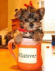 Teacup Yorkie 1000 Ideas About Yorkie Poo Puppies On Pinterest Yorkie Yorkie Terrier Yorkie Dogs Yorkie Puppy